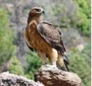 The Bonelli's Eagle