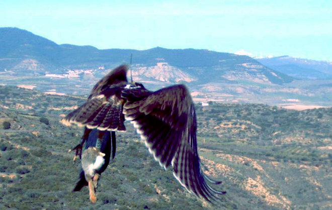 Beragu, the Bonelli's Eagle released in Navarre in 2012.