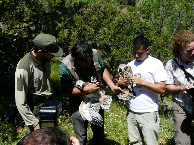 Park rangers from the Community of Madrid and members of GREFA during the release of two Bonelli's Eagle chicks.