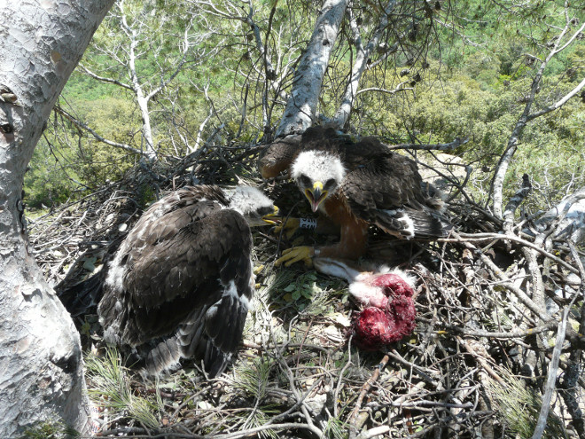 Bonelli's Eagle chicks in one of the last nests of the Community of Madrid