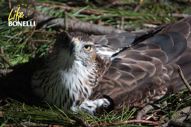One of the Bonelli's Eagles of the breeding centre in Vendée (France), sitting on her eggs.