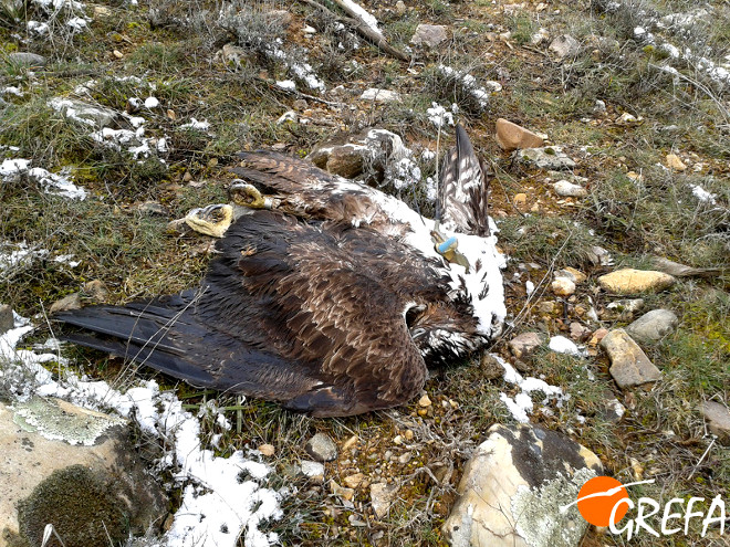 The dead body of the Bonelli's Eagle monitored by GREFA which had died from posion in the province of Guadalajara. Photo: GREFA.